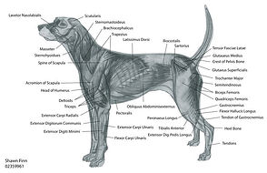 Muscles, ligaments, and nerves benefit from Canine Massage Therapy