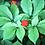 Thumbnail: Korean (Panax) Ginseng Seeds 100 pcs