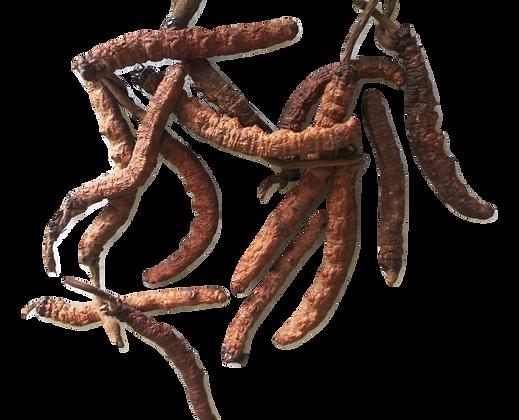 Cordyceps Sinensis (Wild)