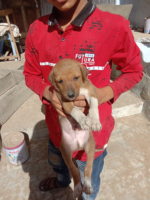 Puppies for adoption in Makrana, Rajasthan