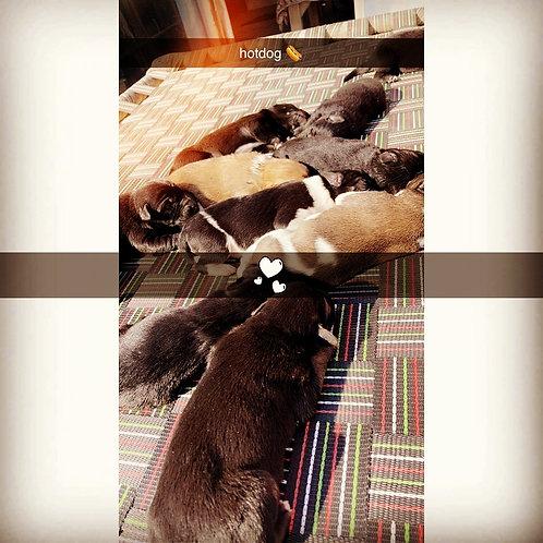 10 puppies for adoption, Ludhiana