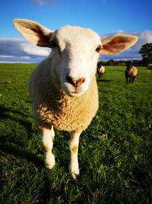 Hitch In Farm Bob the Ram