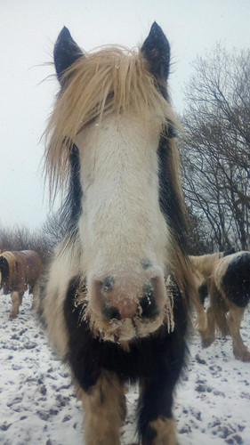 Hitch In Farm Horse In The Snow