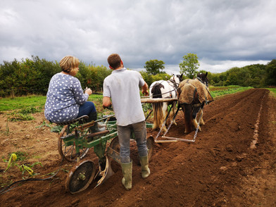 Hitch In Farm Ploughing With Horses