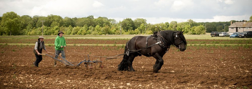 Hitch In Farm Horse Pulling the Plough