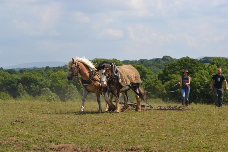 Hitch In Farm Horse On The Harrow