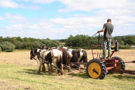 Hitch In Farm Horse-Drawn Haymaking