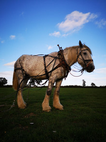 Hitch In Farm Shire Horse Chain Harrow