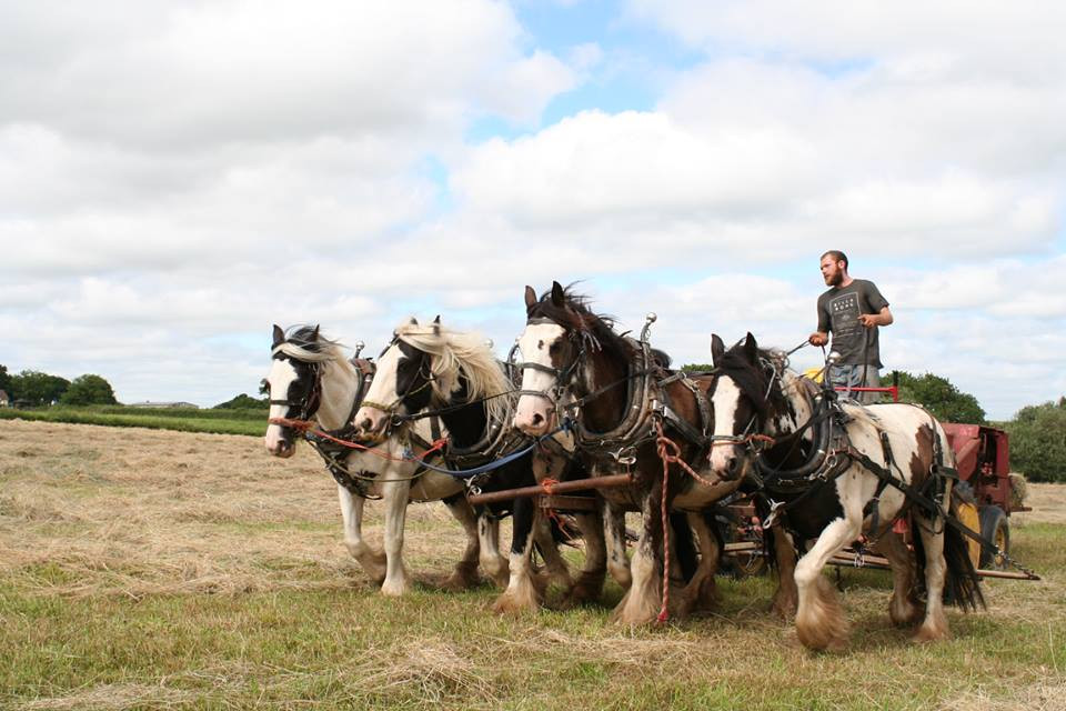 Hitch In Farm Horse-Powered Haymaking