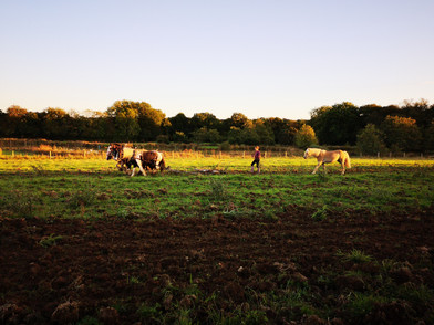 Hitch In Farm Cultivating With Horses