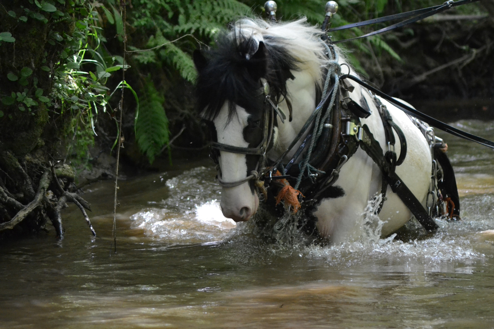 Hitch In Farm Horse In The River