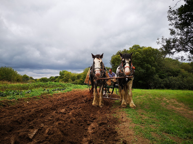 Hitch In Farm Using a Horse-Drawn Plough