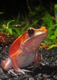Bicoloured-frog.jpg
