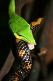 vine-snake-feeding-varad.jpg