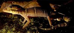 Geckoella deccanensis_varad giri.jpg