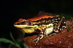 Fungoid frog_varad giri.jpg