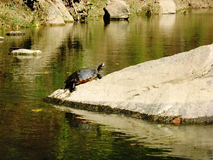 Turtle sitting on rock in a lake