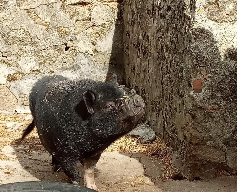 Black pig in a castle pen