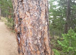 The Vanilla Pines