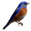 BluebirdClip1_edited.png
