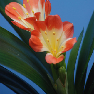 Natal Lily