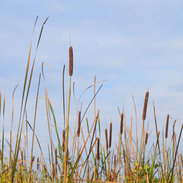 Cattails and Sky