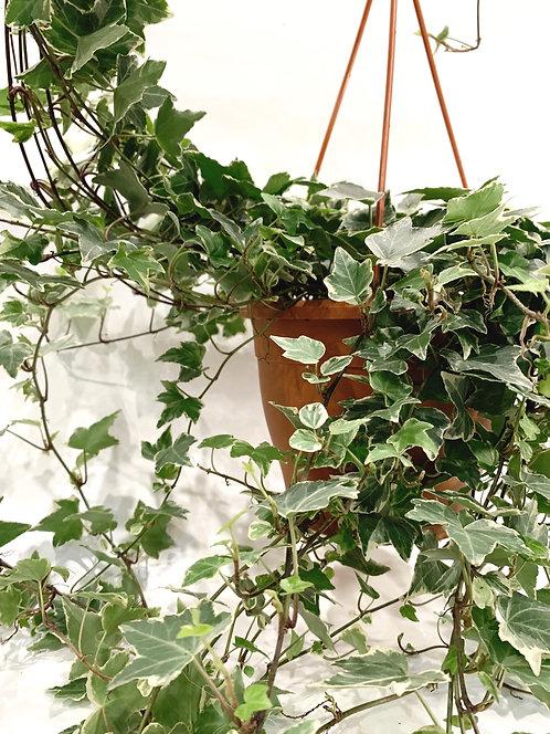 Variegated Ivy - Large