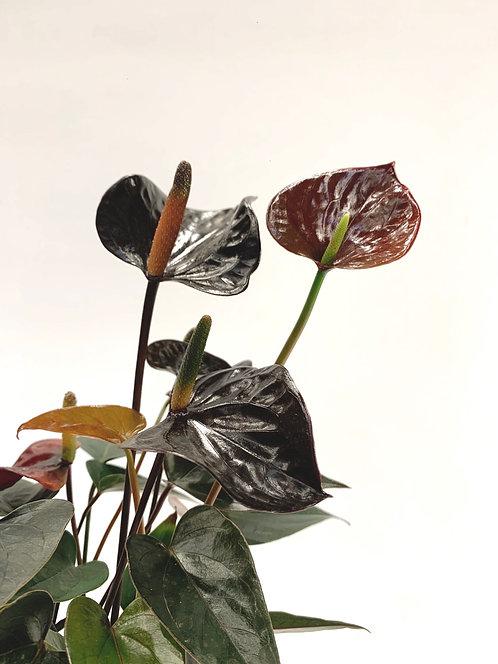 Black Anthirium