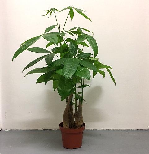 Guiana Chestnut (pachira aquatica)