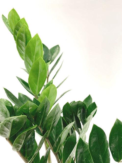 Zamioculcas Zamiifolia 'ZZ'