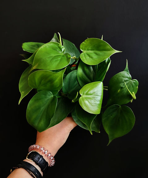 small-philodendron.jpg
