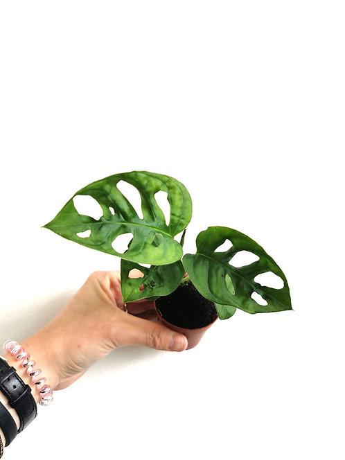 Monstera Monkey Leaf - Mini