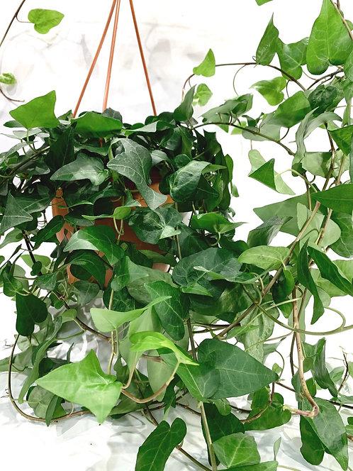Green Ivy - Large