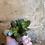 Thumbnail: Mini Crassula
