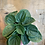 Thumbnail: Peperomia Rana Verde