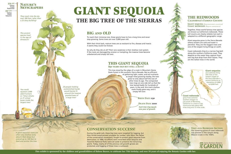 Giant Sequoia, SB Botanic Garden