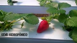 Morango semi hidroponico