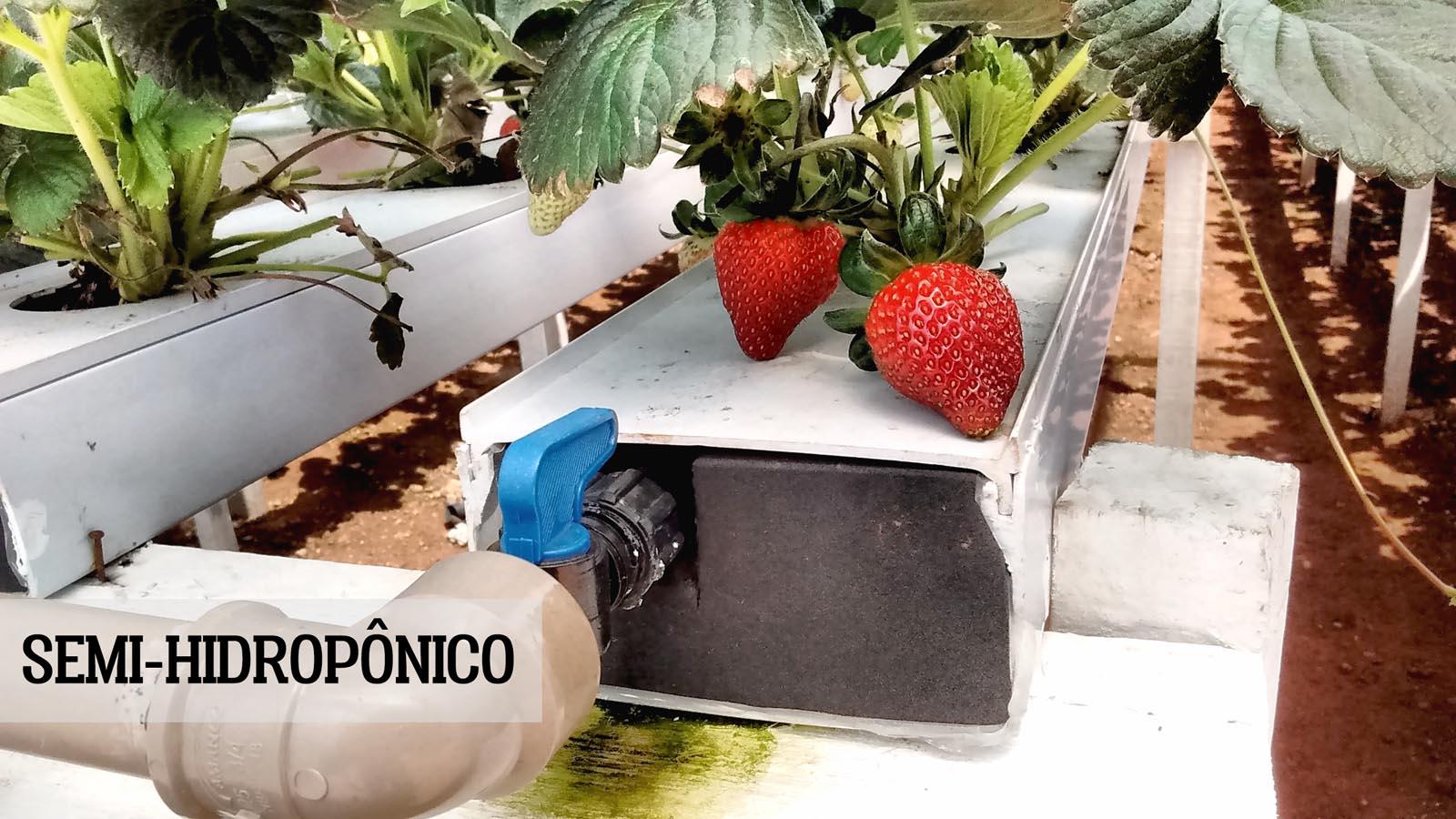 morango semi-hidroponico