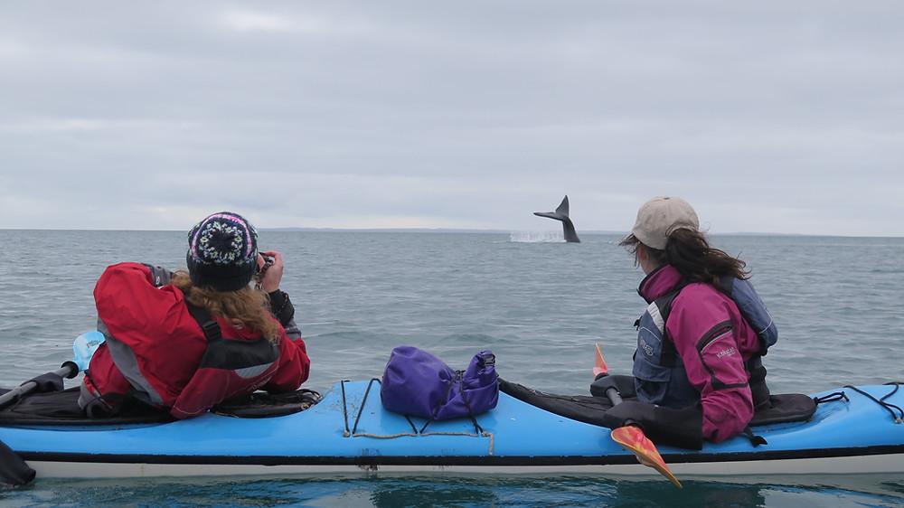 Salidas Diarias Kayak observacion de Ballenas