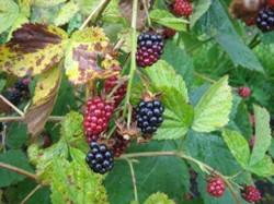 Junction berries