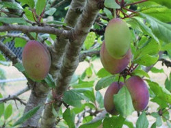 Junction plums