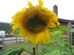 Junction Sunflower