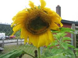 Junction Sunflower