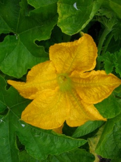 Junction squash flower
