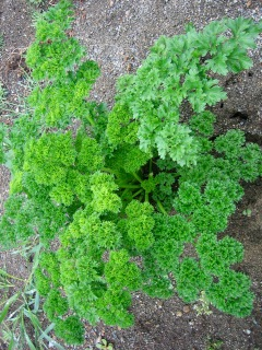 Junction parsley