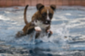 Brindle dog jumping through the water to