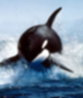 Killer Whale copy.png