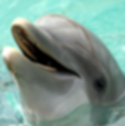 Dolphin copy.png