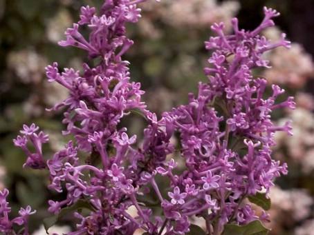 Bloomerang Purple Lilac Tree