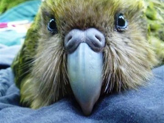 Our adopted Kākāpo